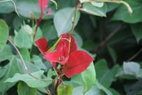 杭州龙井田边红色叶子
