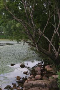 湖边的岩石与柳树