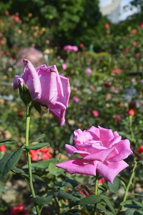 两朵清纯美丽粉红色月季花