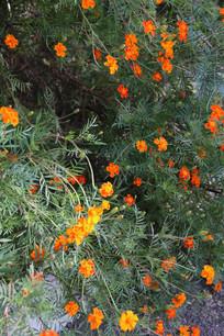 绿叶中开满橙色的硫华菊