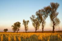 收割后的稻田地一排柳树