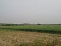 水稻小麦田野丰收收割