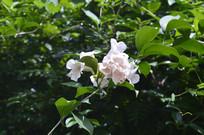 蒜香藤的白色花朵