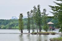 湖泊里的水杉绿树