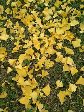 满地的银杏叶子