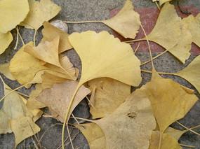 秋天的银杏叶子