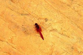 石上红蜻蜓