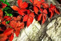 岩石上的红色叶子素材图