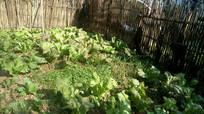 竹篱笆围起来的菜地