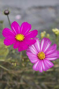 紫色波斯菊