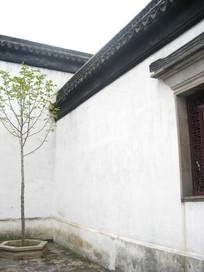 白墙间的一颗小树