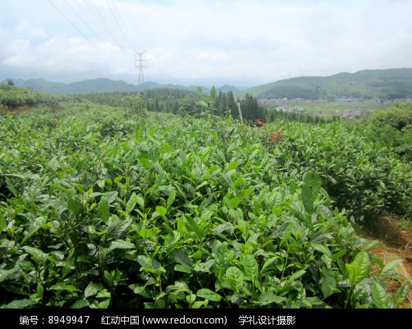 红枫山韵茶场图片