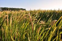 金黄色稻谷