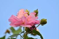 蓝天背景木芙蓉花朵