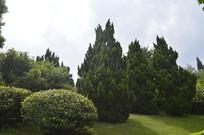 龙柏树木绿树绿化景观