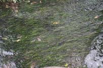 茅家埠水流中的水草