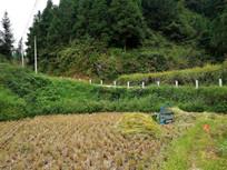 收割完毕的水稻田