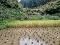 收割一半的水稻田