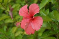 一朵盛开的单瓣大红花