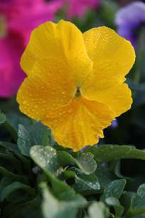 带露水的黄色花朵