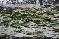 茅家埠荷叶满塘