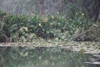 茅家埠水潭边荷叶与芭蕉叶