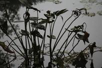 茅家埠水塘干枯荷叶