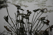 茅家埠水塘干枯荷叶与藤