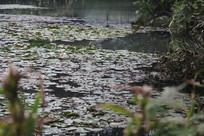 茅家埠水塘荷叶遍布