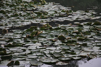 茅家埠水塘众多荷叶