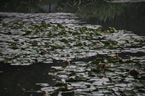 茅家埠水塘众多荷叶远景