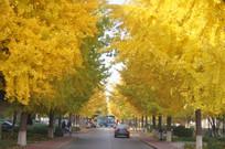 茂密的银杏树