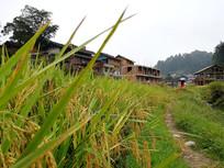农村水稻丰收