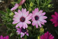盛开的紫色小菊花