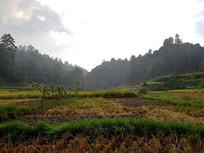 收割水稻的田地