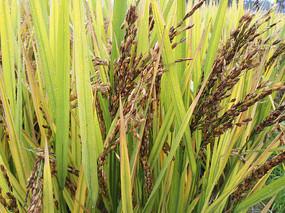 雨天黑色稻米