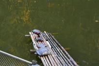在竹排上晒太阳的小乌龟