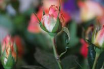 钻石玫瑰花骨朵特写