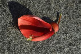 地上一朵红色鸡冠刺桐花