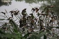 茅家埠枯萎荷叶与水草