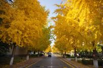 茂密的银杏树林