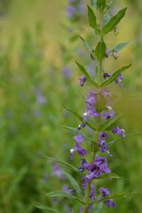 紫色小花朵天使花