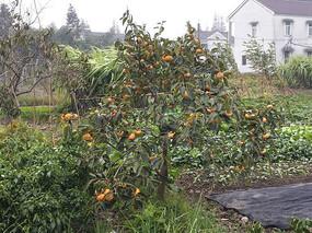 菜地柿子树