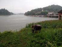 河边的水牛