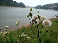 湖边的野花野草