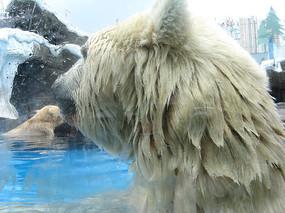 扭头的北极熊特写