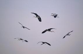天空中飞翔的鹭鸟