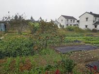 乡村菜地柿子树