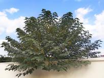 院墙里的树