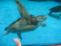 展开双鳍的海龟